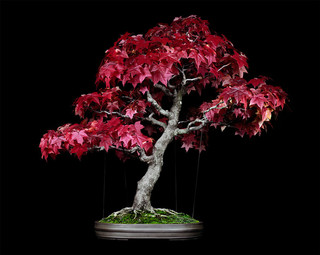 Untitled #8, The Bonsai Project: Typology. © Sjoerd Knibbeler and Rob Wetzer