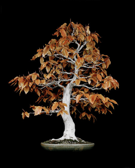 Untitled #3, The Bonsai Project: Typology. © Sjoerd Knibbeler and Rob Wetzer