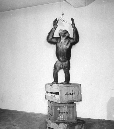 A chimpanzee during an intelligence test. Photo by Lilo Hess / Getty Images